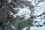 Снежный барс в ущелье Укок Нарынской области