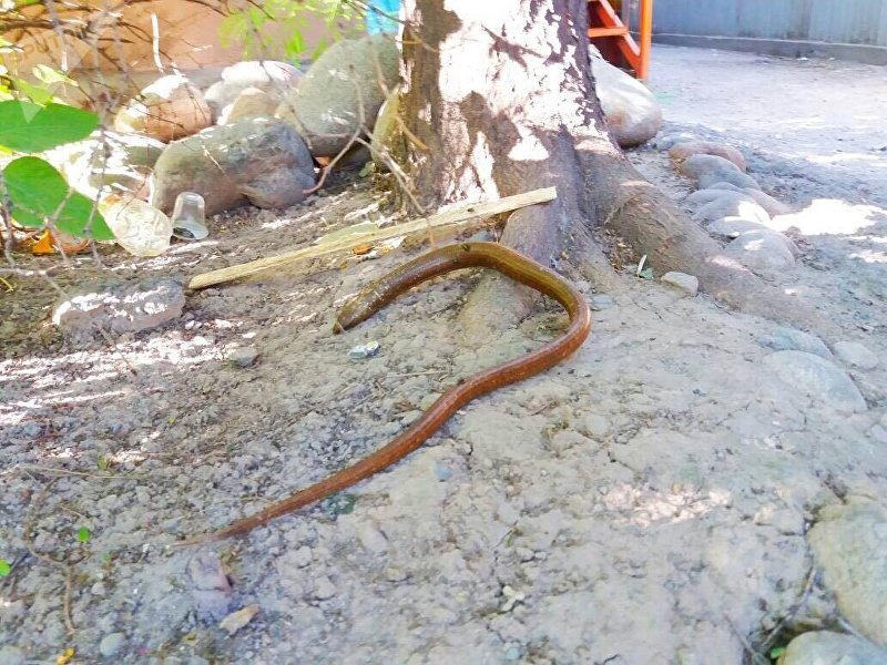 Желтопузик (безногая ящерица) длиной около 80 сантиметров в столичном микрорайоне Асанбай