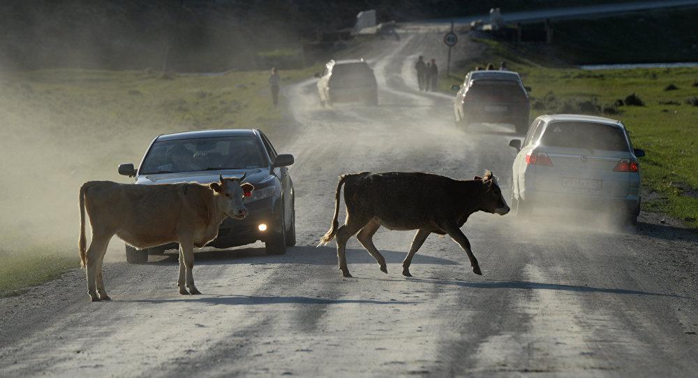 Коровы на дороге. Архивное фото