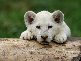 Чехиядагы зоопаркта туулган ак арстан