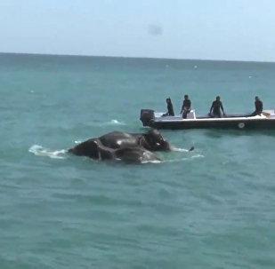 Спасение унесенных в море слонов у берегов Шри-Ланки. Кадры операции