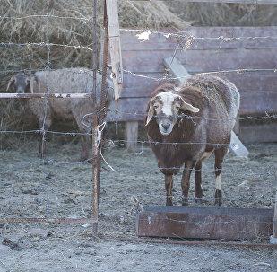Овцы в сарае. Архивное фото