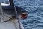 Адамдарга кол салуу үчүн катерге секирген акуланын видеосу