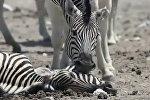 Душераздирающе! Самец зебры пытается разбудить подругу, умершую при родах
