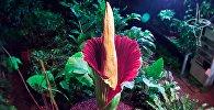 В Европе расцвел самый зловонный цветок в мире — кадры распускания