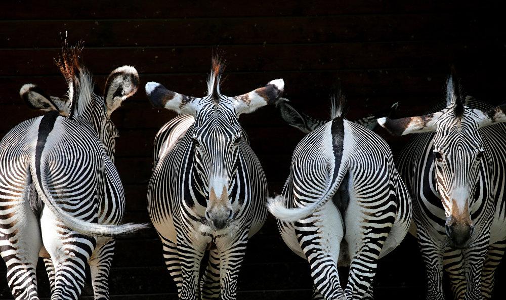 Германиядагы зоопарктагы зебралар