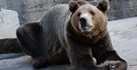 Медведь в зоопарке. Архивное фото