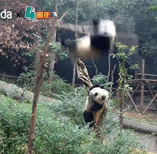 Настоящий пандопад! — видеоподборка забавных падений бамбуковых медведей
