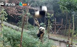 Настоящий пандопад! ЂЂЂ видеоподборка забавных падений бамбуковых медведей
