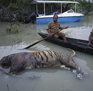 Труп тигра в национальном парке Казиранга северо-востоке Индии.