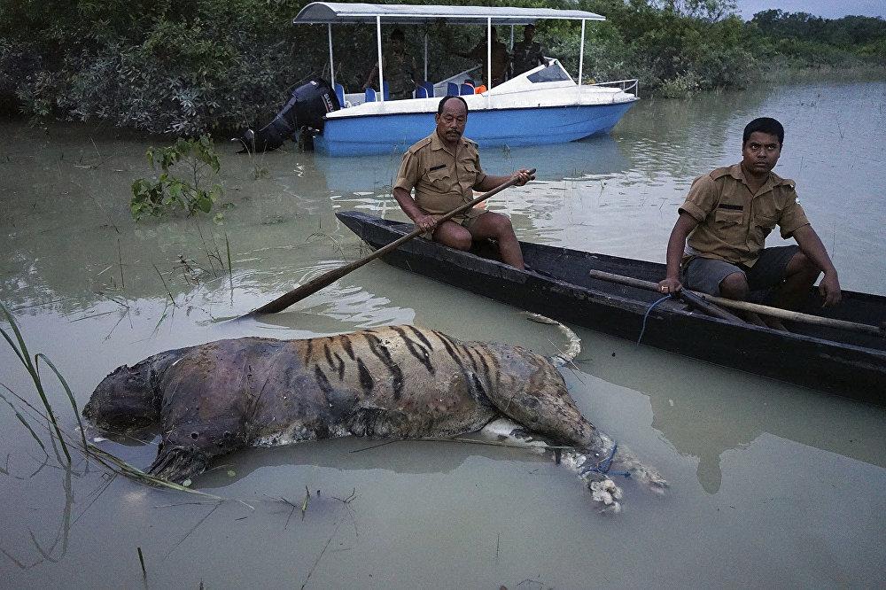 Индиянын түндүк-чыгышынданы Казиранга улуттук паркынан табылган жолборстун сөөгү. Катуу нөшөр Ассам штатындагы 2,5 миңден ашуун айыл-кыштакты суу алдына калтырды. Кырсык кесепетинен эки миллиондон ашуун киши үй-жайсыз калган