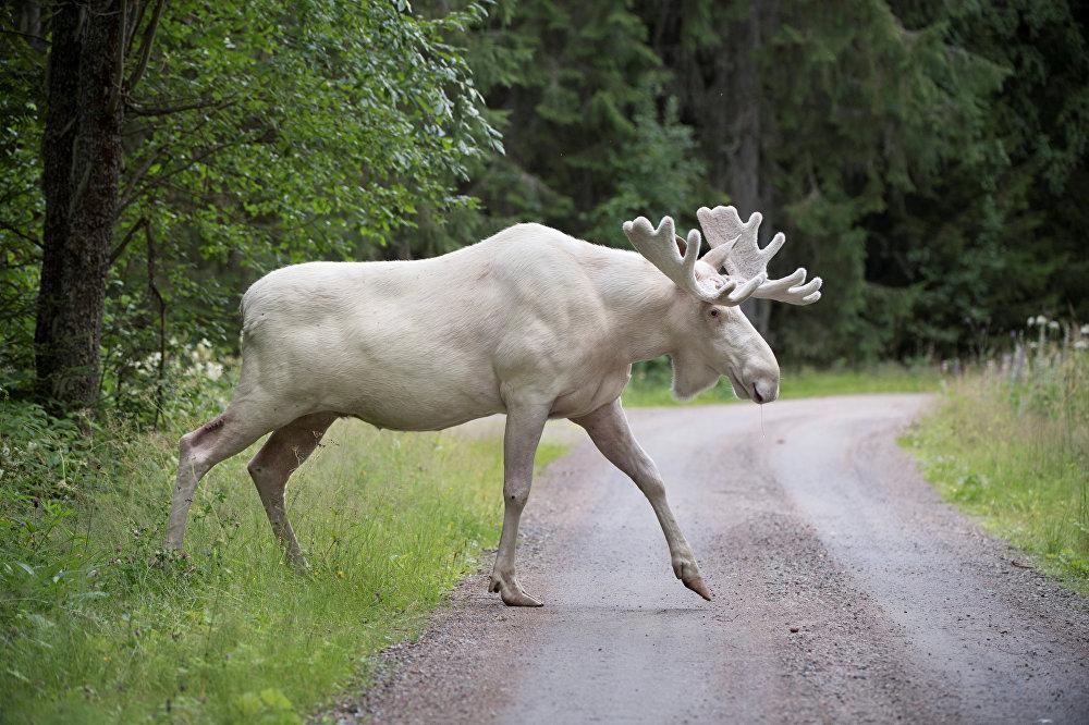 Швециянын Вэрмланд провинциясынан байкалган ак багыш. Жаныбардын бул түрү өтө сейрек кездешет