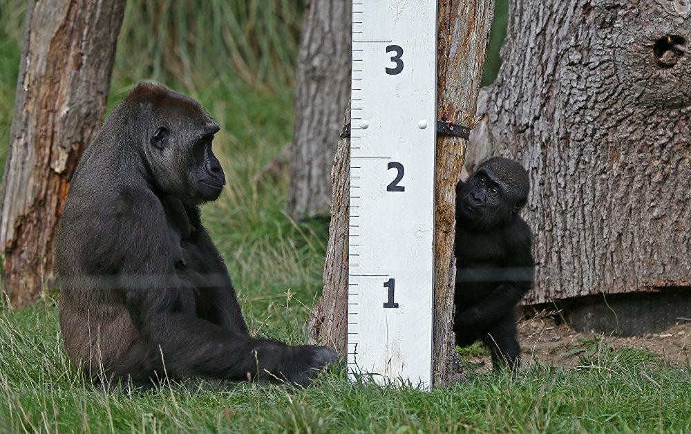 Лондон зоопаркында багылган горилла баласы менен