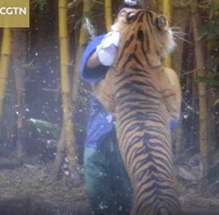 Нападение тигра на дрессировщика сняли посетители цирка