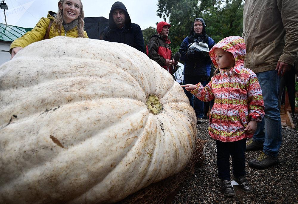 Россияда өстүрүлгөн эң чоң ашкабак. Анын салмагы 472 килограммга жетет