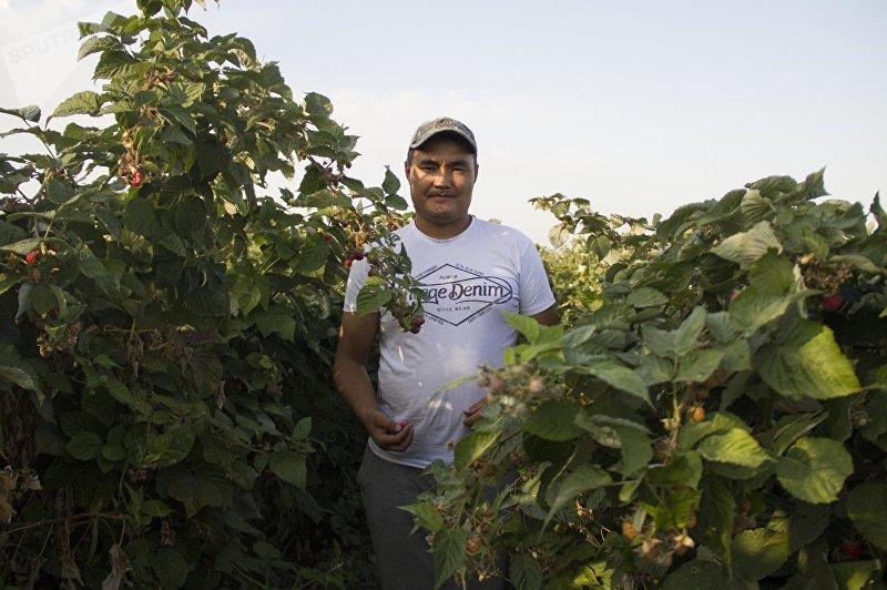 Бизнесмен Нурлан Орунтаев на малиновой фазенде в Чуйской области