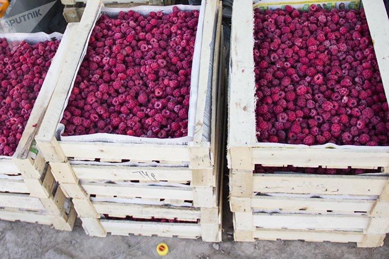 Малина полученная в пяти гектарах фазенды в Чуйской области