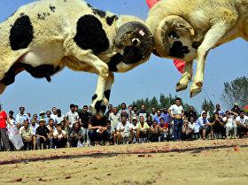Бой баранов в китайской деревне Ляочэн