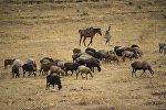 Одинокий пастух в селе Ортосай