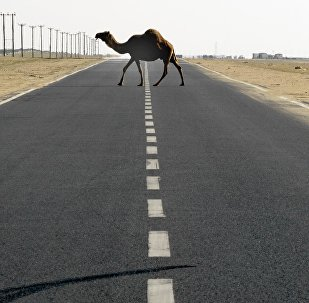 Верблюд переходит дорогу. Архивное фото
