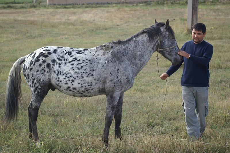 Разводчик пятнистых лошадей породы Аппалуза Мунарбек Кулданбаев