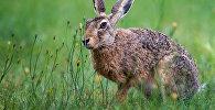 Заяц в заповеднике. Архивное фото