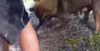 Собака спасает щенков из затопленного логова — видео растрогало соцсети