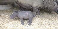 Какая милота! В зоопарке впервые за 5 лет родился мальчик-носорог