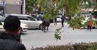 Бишкектин чок ортосунда жүргөн уй аялды сүзүп салды. Күбөнүн видеосу