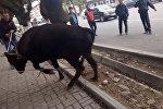 Агрессивная корова в центре Бишкека