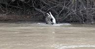 Видео смертельной схватки ягуара с аллигатором появилось в Сети