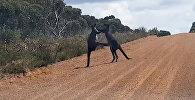 Два гигантских кенгуру устроили драку, заблокировав дорогу в Австралии