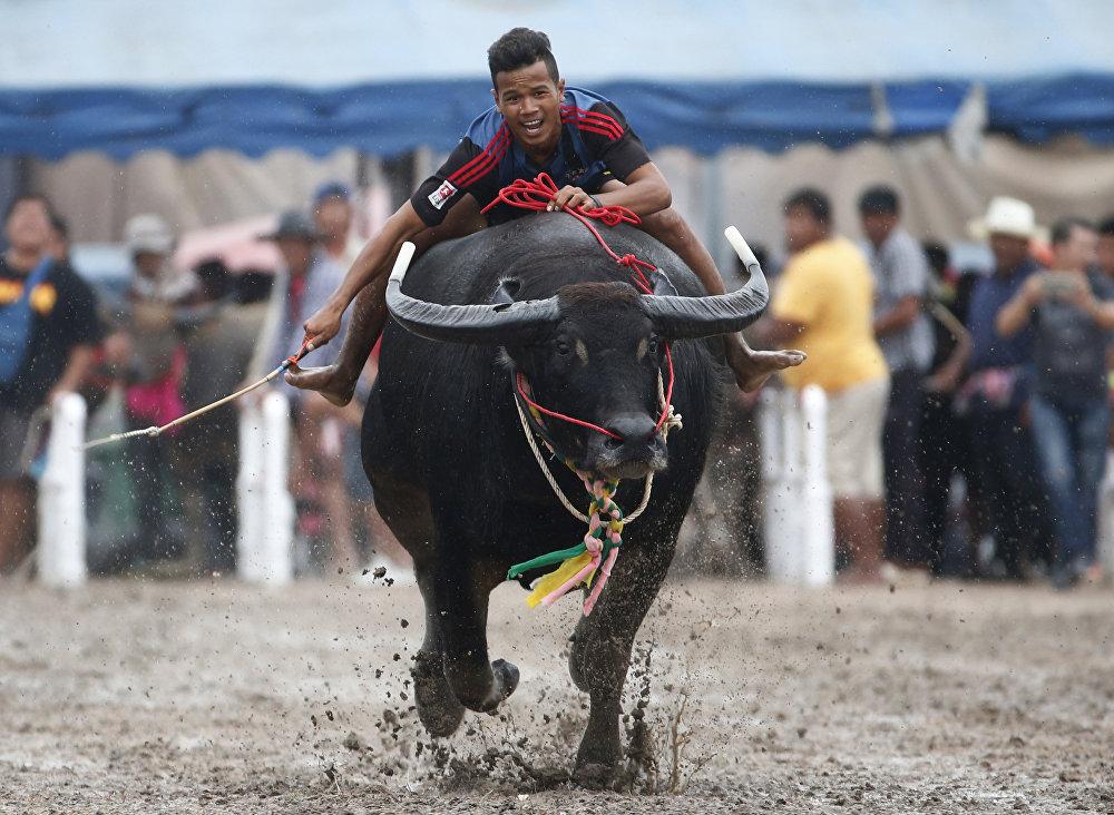 Гонка буйволов в Таиланде