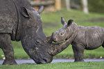Носорог с детенышем. Архивное фото