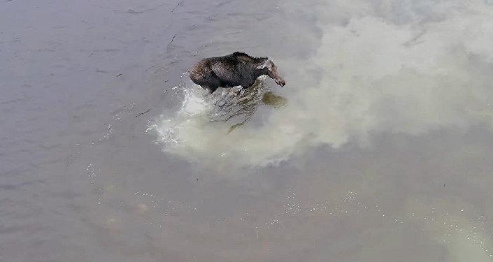 Дрон запечатлел захватывающую схватку лося с волком в Канаде — видео