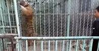 Разлученный с мамой тигренок взбунтовался в зоопарке – видео