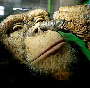 Анфиса, двенадцатилетняя самка шимпанзе в зоопарке Роев Ручей в пригороде Красноярска. Россия