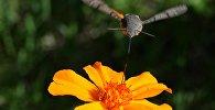 Архивное фото бабочки-колибри (бражник)
