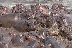 Стадо бегемотов против крокодила — видео неравной схватки