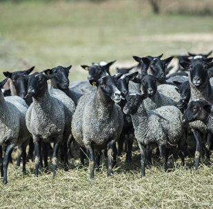 Овцы. Архивное фото