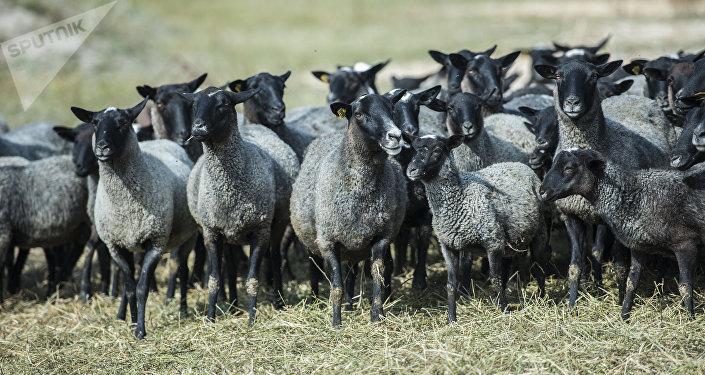 Породистые овцы на ферме по разведению скота на окраине Бишкеке