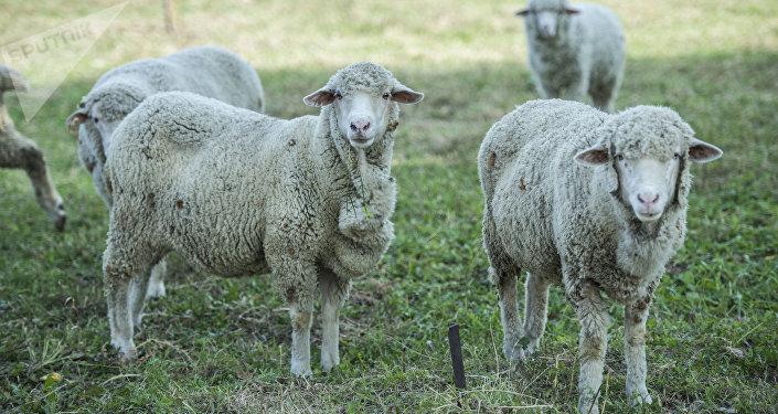 Овцы на ферме по разведению скота на окраине Бишкека. Архивное фото