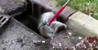 АКШда канализацияга түшүп кеткен енот семиздигинен аман калды. Видео