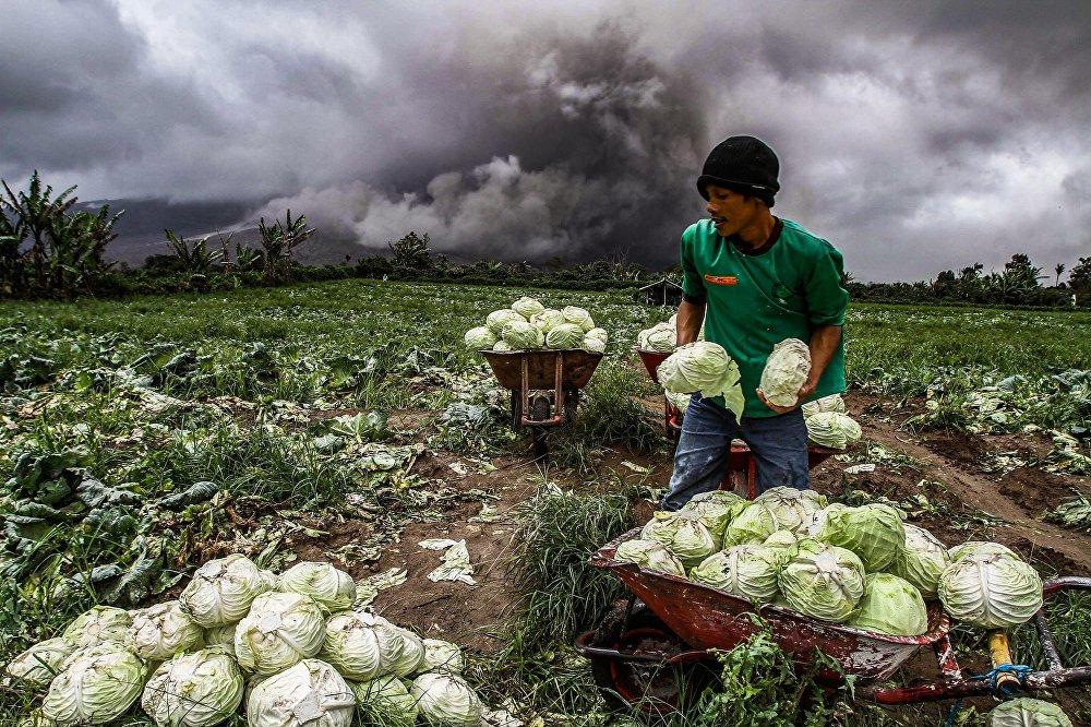 Индонезиядагы Түндүк Суматра провинциясында жарылган вулкан жана анын фонунда капустанын түшүмүн чогултуп жаткан дыйкан.