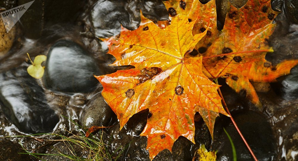 Опавшие кленовые листья. Архивное фото