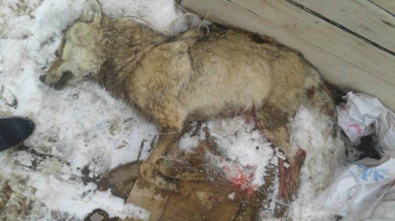Убитый волк, который напал на Мирбека Келгенбаева в перевалочном пункте в Сарычат-Эрташском государственном заповеднике.