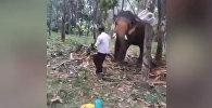 Слон отбросил пьяного индийца, который хотел встать ему на хобот, — видео