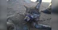 Кыргызстанец продает живого волка на базаре — видео