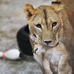 Львята в Екатеринбургском зоопарке