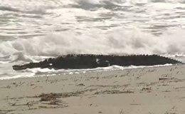 Крокодил длиной около 1,8 м был замечен на пляже во Флориде